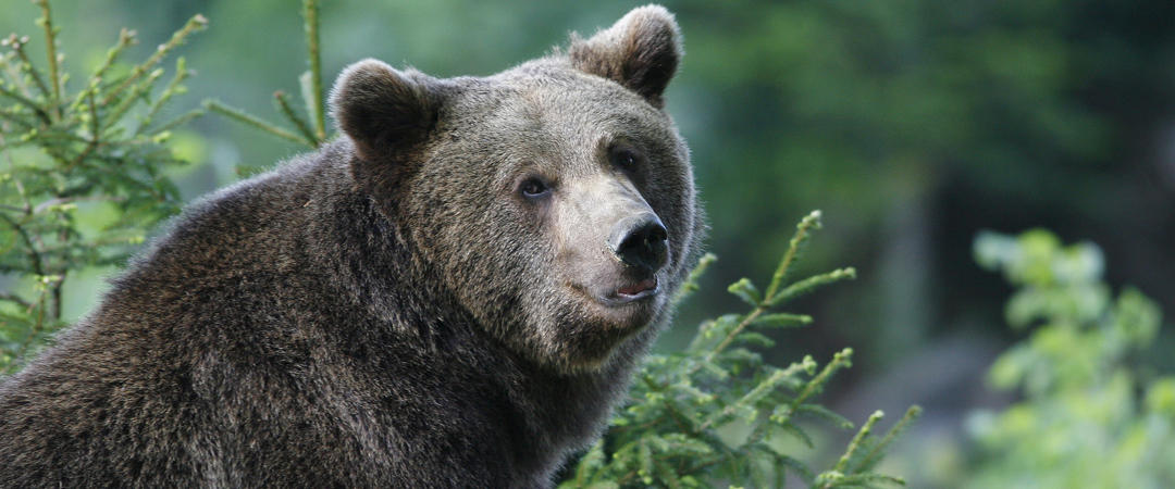 The western part of Dolenjska is filled with endless forests and is also the home of the big brown bear.