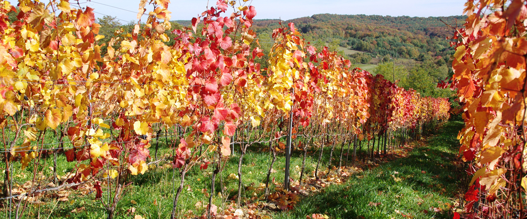 Harvesting is a time of hard work, good food and excellent vines.