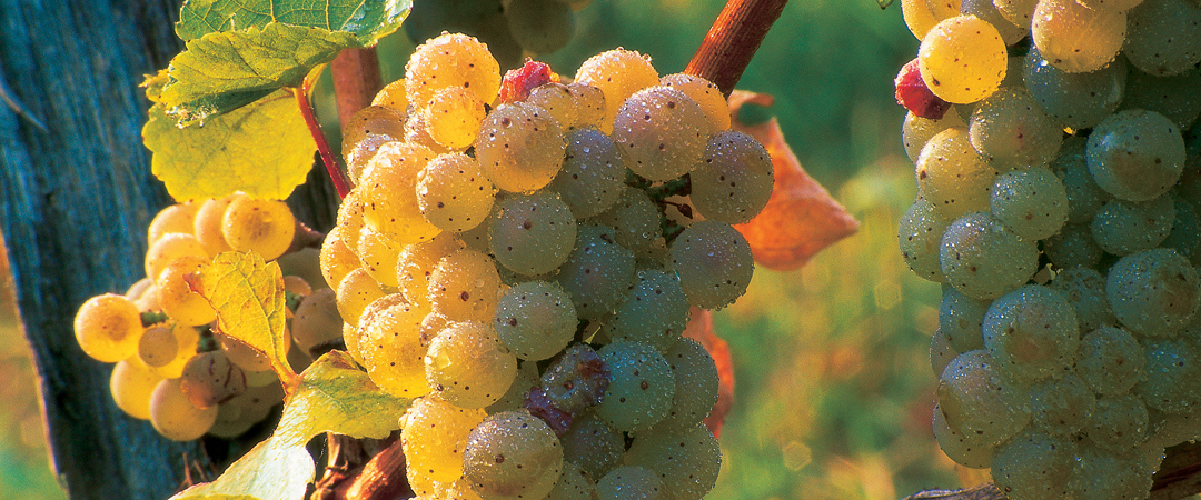 Grapes of the wine are beneficial for the body, so we invite you to try them.