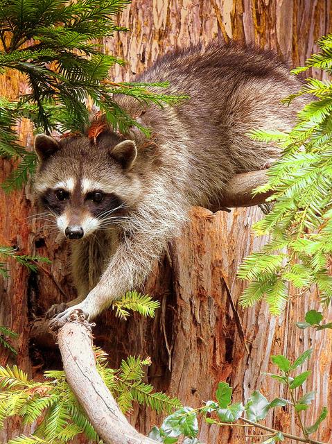 racoon, redwood