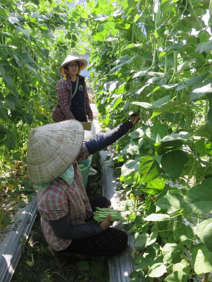 採收四季豆