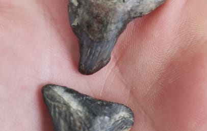 When you're walking the beach, keep an eye out for fossilized shark teeth - these are over 10 million years old