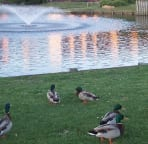 Lots of ducks to feed