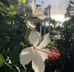 Native white hibiscus grows on the property.