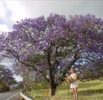 Jacarunda Tree In Full Bloom In May On The Slopes Of Haleakala