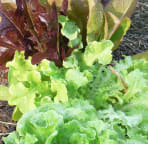Fresh Lettuce from the Veggie Garden