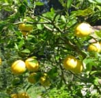 our favorite lemon tree