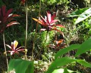Red Tea Leaf