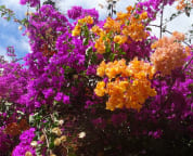 Enjoy the colorful flowers at Maui Banyan. Well maintained and pretty flowers.