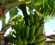Yup, that's right, banana trees right near the swimming pool