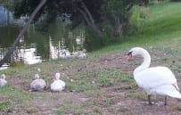 Check out the baby swans
