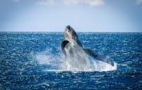 Whale watching (in season)
