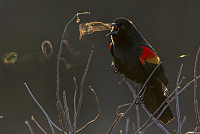 A Blackbird Blowing 'Smoke' Rings...