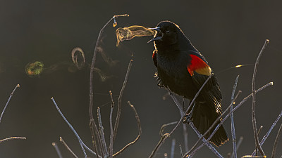 A Blackbird Blowing 'Smoke' Rings Win...