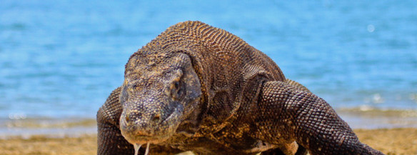 Walk With Komodo Dragons On A Komodo Island Tour 3d2n Voyagin