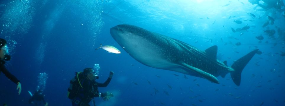 Enjoy Snorkeling With Whale Sharks In Okinawa