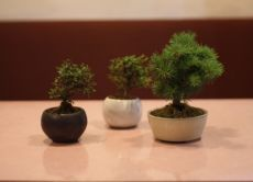Bonsai : Japanese Art of Gardening