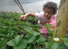 Pick Strawberries on an Authentic Balinese Farm