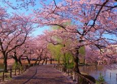 Go on a sakura cherry blossoms tour around Ueno!