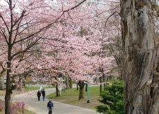 Enjoy Yamaguchi's great cherry blossom viewing and Sushi!