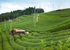 Discover Japanese green tea in Shizuoka