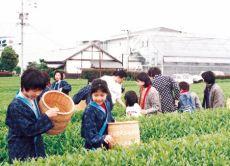 Enjoy tea picking experience in Shizuoka