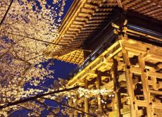 Go on a Kyoto Cherry Blossoms (Sakura) Night Viewing Tour