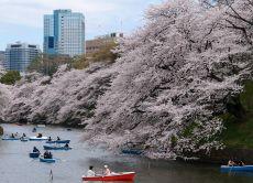 30% OFF Tokyo Cherry Blossom Sakura tour
