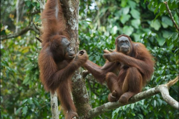 See Wild Orangutans in Kalimantan Jungle, Borneo - 0