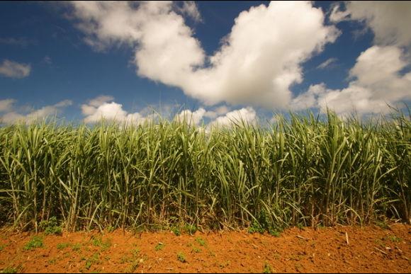 Harvest Sugarcane during Okinawa Homestay - 0