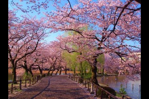 Go on a sakura cherry blossoms tour around Ueno! - 0