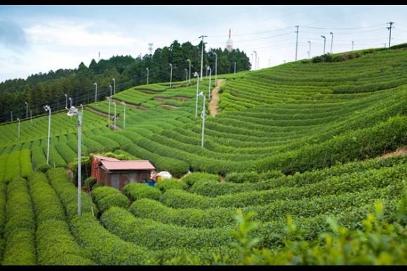 Discover Japanese green tea in Shizuoka - 0