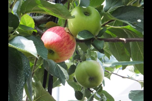 Pick apples in an orchard in Shizuoka - 0