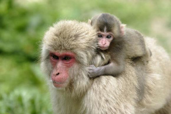 1-Day Snow Monkey and Shiga-kogen Highlands Hiking Tour - 0