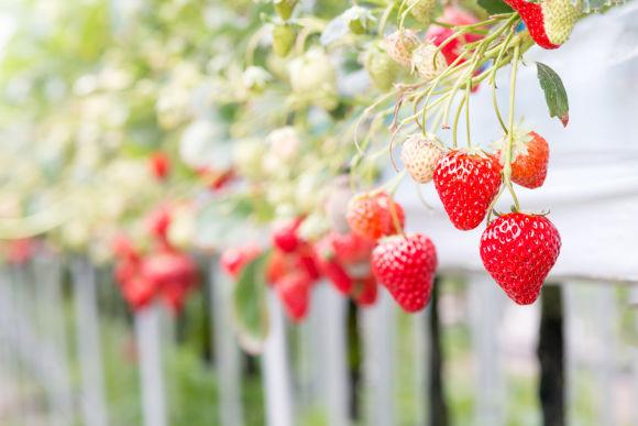 Pick and eat strawberries at a farm near Lake Shorenji, Mie - 0