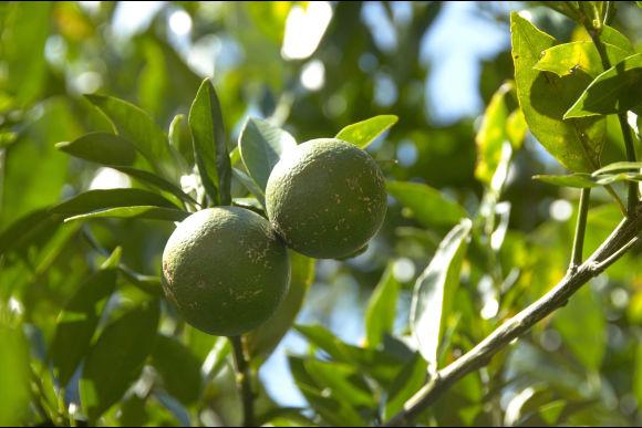 自然を満喫!沖縄の名護でシークワーサー収穫、農業体験! - 0