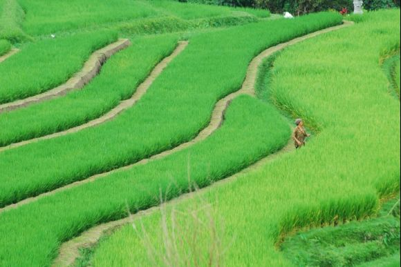 Marvel at the most Stunning Rice Fields in Bali - 0
