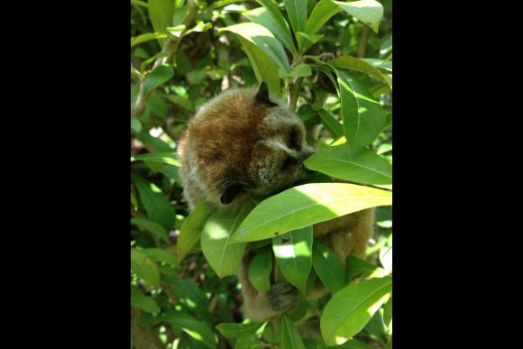 See the Slow Loris in its Natural Habitat - Rural Da Lat - 3