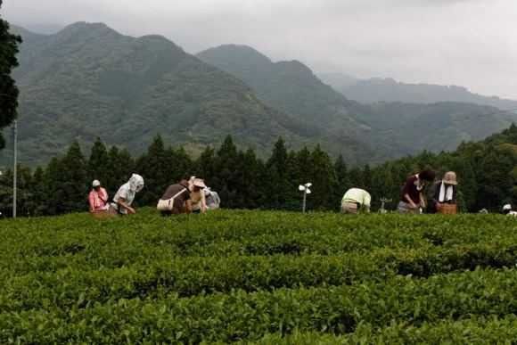 Stay in the Land of Organic Tea and Learn Tea Culture  - 1