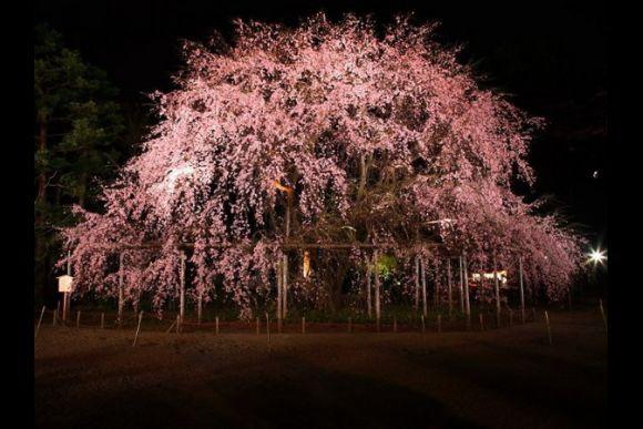 Sakura Night Illumination Tour - 1