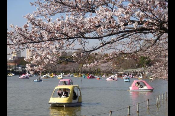 Go on a sakura cherry blossoms tour around Ueno! - 2
