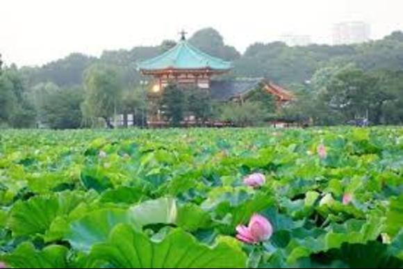 Go on a sakura cherry blossoms tour around Ueno! - 3