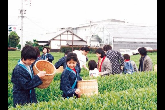 Enjoy tea picking experience in Shizuoka - 0