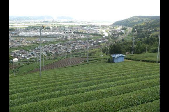Enjoy tea picking experience in Shizuoka - 1