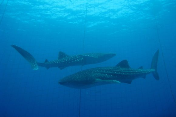 Enjoy Snorkeling with Whale Sharks in Okinawa! - 0