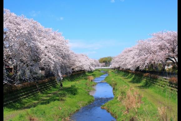 Visit Tokyo's best sakura (cherry blossom) spots! - 0