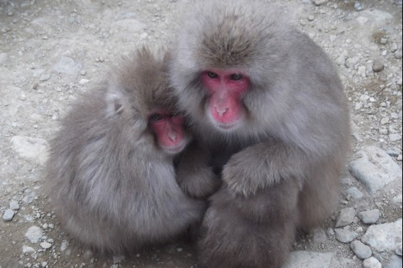 Go on a one day trip to see the Snow Monkeys! - 5