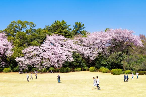 Visit Tokyo's best sakura (cherry blossom) spots! - 1