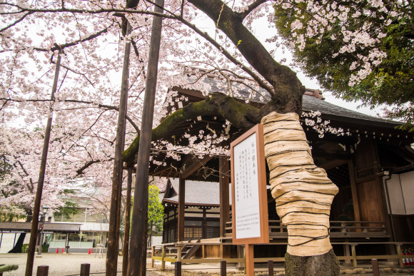 Visit Tokyo's best sakura (cherry blossom) spots! - 3
