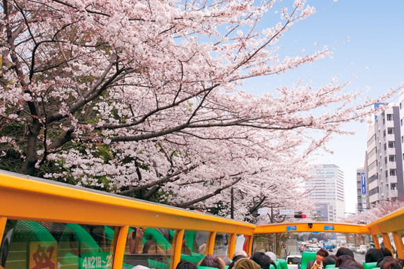 Sakura Cherry Blossom Viewing from an Open Top Bus in Tokyo - 1